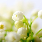 Raw material: lily of the valley